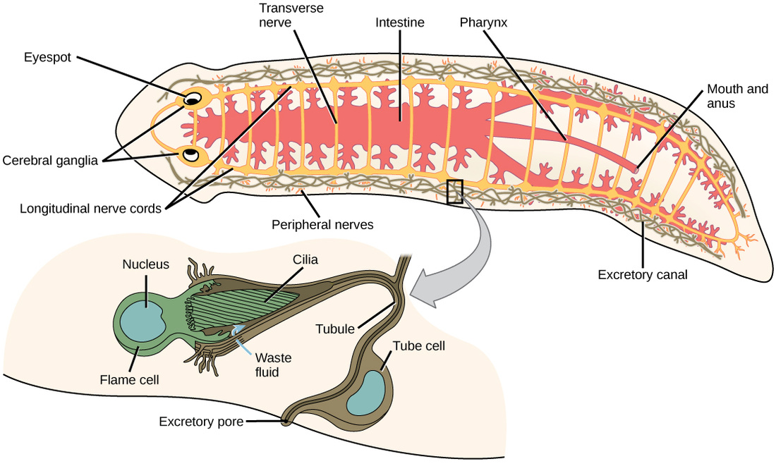 The Excretory System - Platyhelminthes